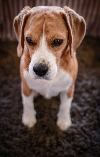 Colorpallet Colorpallete Pet AnimalTheme Pose Looking Domesticanimals Canine Indoors  Friendforever PortraitPhotography Tranquility 35mm Dogphotography Concentration Réflexion Modeldog  Model Mammal Light And Shadow Contrast Beagle Pets Portrait Dog Looking At Camera Puppy Sitting Alertness Close-up