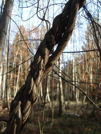 Forest Walk Geiblatt Lianen Schlingpflanzen🌾 Waldspaziergang Im Herbst Lianas Nature No People Outdoors Reepen Seile