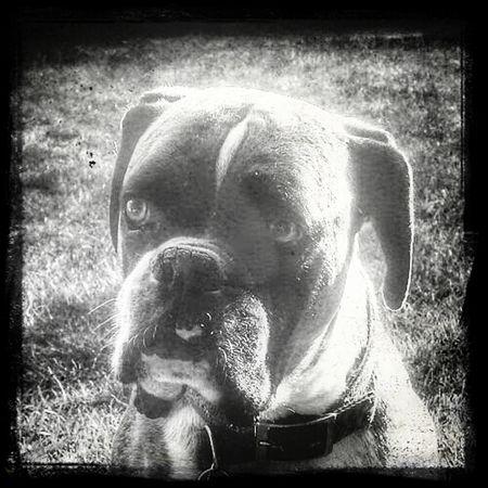 Buster Boxer Boxer Dog