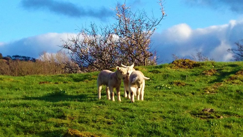 Family Lamb Ruthin Wales Animal Themes Beauty In Nature Cute Day Field Grass Lambing Lambs Landscape Mammal Nature No People Outdoors Sheep Sky Tree