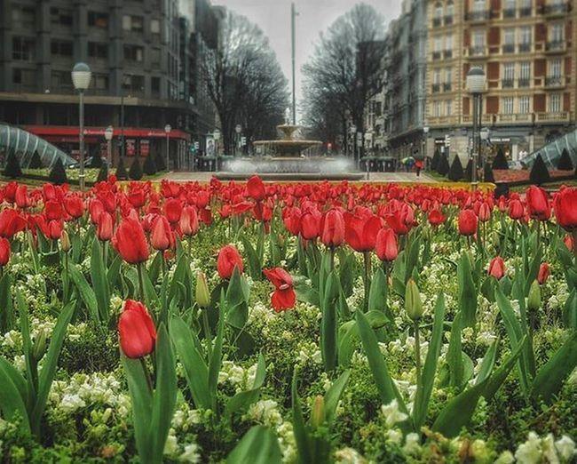 Tulips field: D Likeamsterdam Tulips Field Plaza Square Flowers Instaflower Red Fountain Igersbilbao