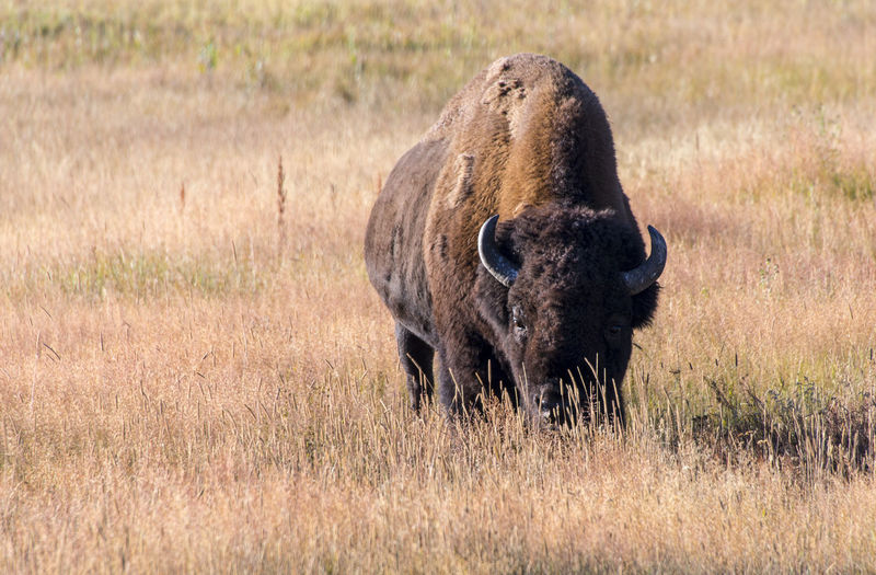 Bison Buffalo Wyoming Yellowstone National Park American Bison Animal Themes Animal Wildlife Animals Animals In The Wild Beauty In Nature Bison, Buffalo, Blackbirds, Wyoming, Wild, Animal, Horns, Fur, Raw, Day Grass Mammal Nature No People One Animal Outdoors