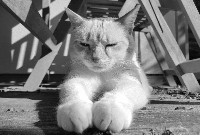Animal Themes AntiM Blackandwhite Cat Cats Of EyeEm Close-up Day Domestic Animals Domestic Cat Eddie Tor Feline Indoors  Looking At Camera Mammal No People One Animal Pets Portrait