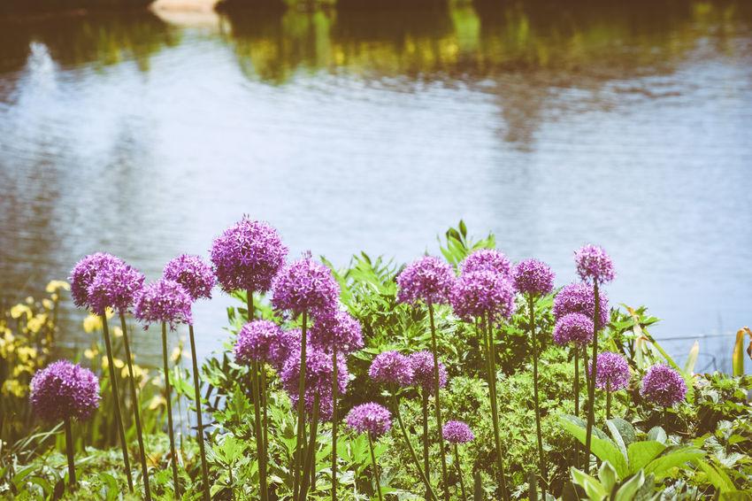 Beauty In Nature Close-up Flower Balls Flower Garden Nature Purple Flowers Stem Tall Flowers Water Perennials