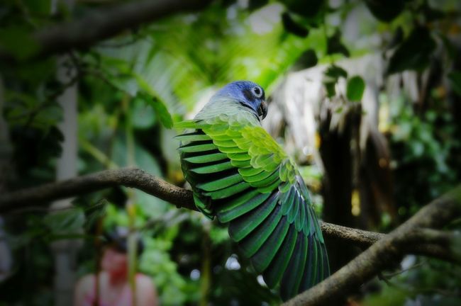 Colorful Parrot Showing Off its Feathers blue green Wing Cahuita Costa Rica (c) 2015 Shangita Bose All Rights Reserved Snbcr Nature's Diversities Feel The Journey