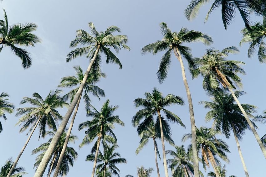 Traveling Palm Tree Low Angle View Nature Tree Growth (null)Sky Beauty In Nature Tranquility Outdoors Clear Sky Scenics Palm Frond Travel