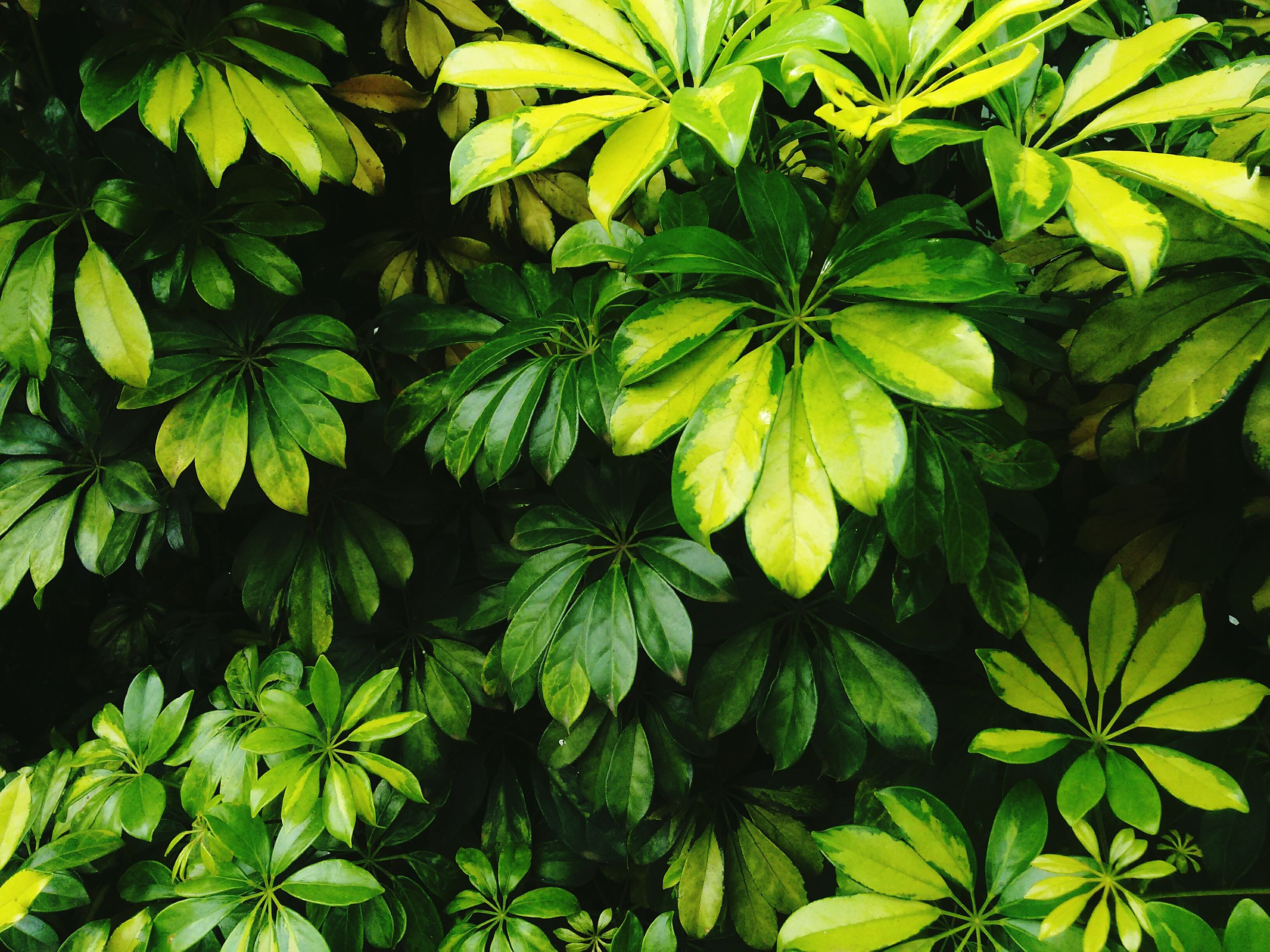 leaf, growth, green color, nature, full frame, plant, backgrounds, beauty in nature, tree, freshness, close-up, branch, lush foliage, green, leaves, outdoors, no people, day, low angle view, tranquility