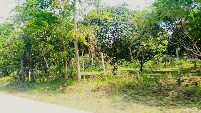 mango trees Mango Mango Trees Trees Roadside Roadside Tree Day Outdoors No People Nature Tree Growth