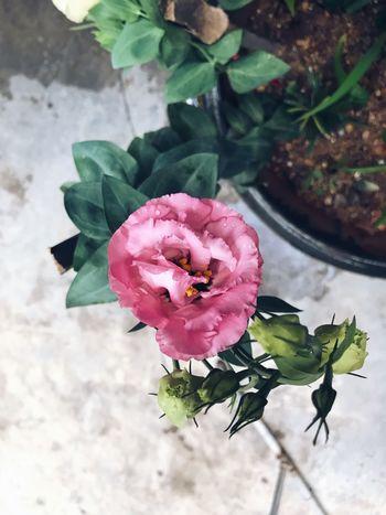 洋桔梗 俏新娘粉 Plant Flower Flowering Plant Vulnerability  Fragility Beauty In Nature Freshness Petal Pink Color Close-up Growth Plant Part Flower Head Leaf EyeEmNewHere Going Remote Adventures In The City