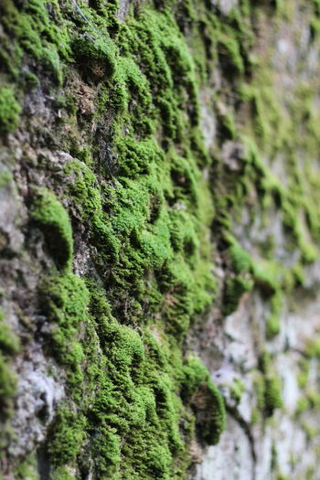 Moss Tree Tree Trunk Textured  Close-up Green Color