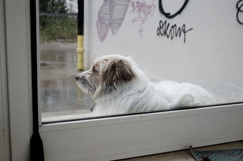 Waiting for... White Dog Waiting Dogs Waiting Door Doggy Rain Doggy One Animal Mammal Animal Window Animal Themes Glass - Material Transparent Pets Canine Dog Domestic Animals Domestic Outdoors