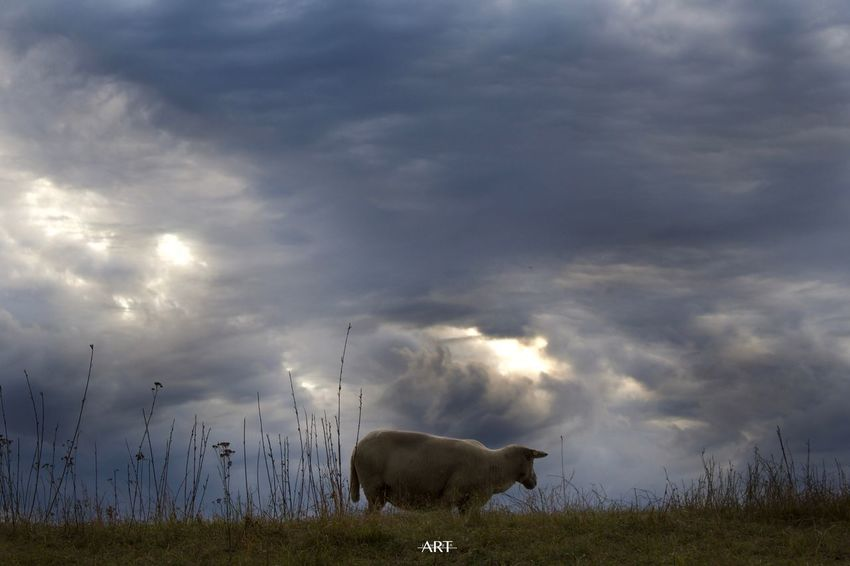 Lost In The Landscape Animal Themes Nature Grass Sky Mammal One Animal Cloud - Sky Domestic Animals Field No People Outdoors Livestock Grazing Day Beauty In Nature Creating