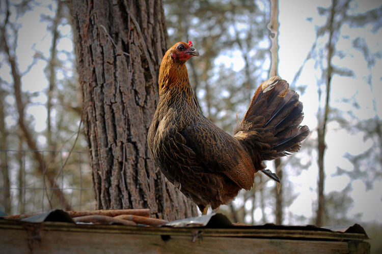 Tennessee Days EyeEm Selects EyeEmNewHere Bird Chicken - Bird Rooster Cockerel Animal Rural Scene Agriculture Tree One Animal No People Sky Outdoors Animal Themes Livestock Domestic Animals Nature Day Close-up Perching