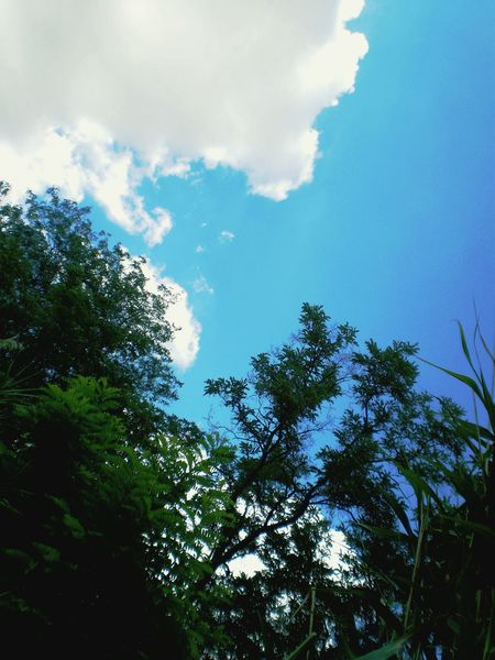 Blue Sky Tree Nature Low Angle View Outdoors Beauty In Nature Cloud - Sky Tranquility Jungle Like Green Trees Summer Scene