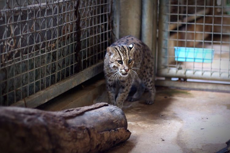Fishing Cat Domestic Cat Animal Themes No People Domestic Animals Tiger Leopard Mammal One Animal Fishing Cats Cat Zoo Zoo Animals  Day Animal Wildlife Animal Photography Animalphotography