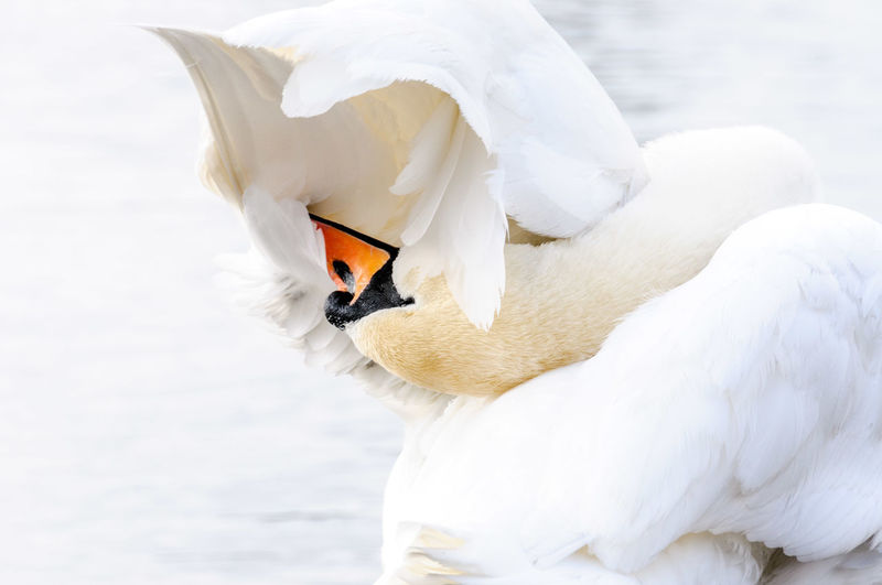 Preening Animal Themes Bird Animal Vertebrate Animal Wildlife White Color Animals In The Wild One Animal Swan Nature Water Bird No People Day Close-up Snow Zoology Cold Temperature Beauty In Nature Preening Focus On Foreground Beak Animal Neck