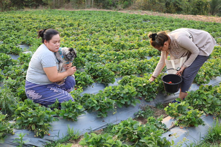 Woman picking strawberries while sister carrying dog at farm