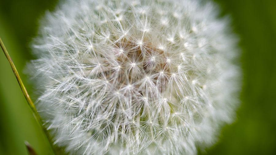 Close-up of dandelion
