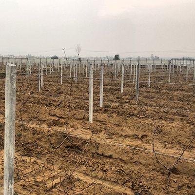 Grape plants at COMSATS Attock. Comsats Comsatsatk Attock Pakistan university institute instapic plant grapes