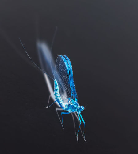 Black Background Blue Close-up Day No People Studio Shot Reverted Insect Mayfly Indoors