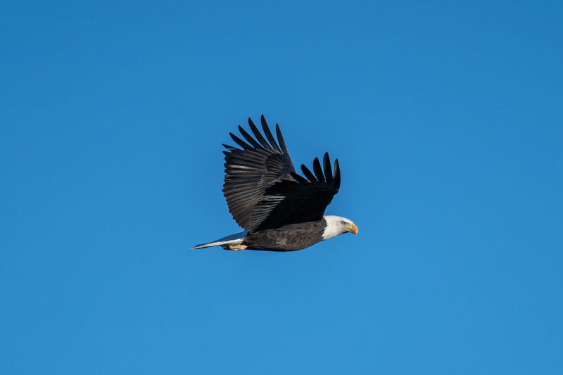Animals In The Wild Animal Wildlife Bird Animal Themes Animal Spread Wings Vertebrate Flying Copy Space One Animal Sky Blue Clear Sky No People Low Angle View Nature Bird Of Prey Mid-air Day Beauty In Nature Eagle Outdoors