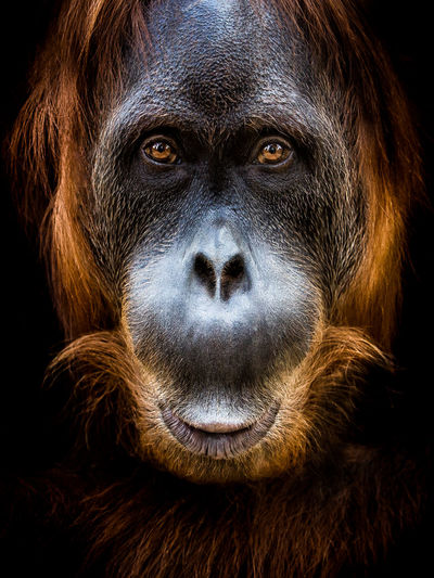 Close-Up Portrait Of Orangutan Against Black Background