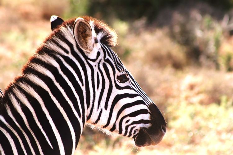 Addo Addo Elephant National Park Tourism Travel Wildlife Nature Outdoors Dry South Africa Plains Grass EyeEm Selects Zebra Safari Animals Portrait Striped Side View Close-up Animal Markings Wildlife Reserve Grassland Dried Tourist Attraction