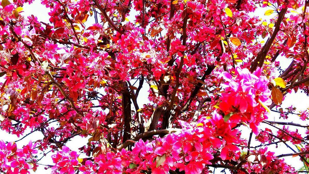 Dark Pink By Motorola Springtime Pınky Trees
