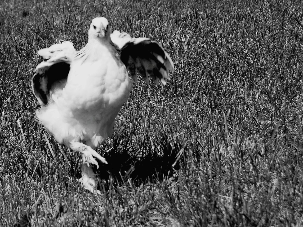 animal themes, bird, one animal, animals in the wild, grass, field, animal wildlife, nature, no people, day, outdoors, spread wings, full length, domestic animals, perching, close-up