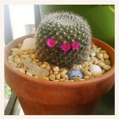 Cactus Flower Cactus