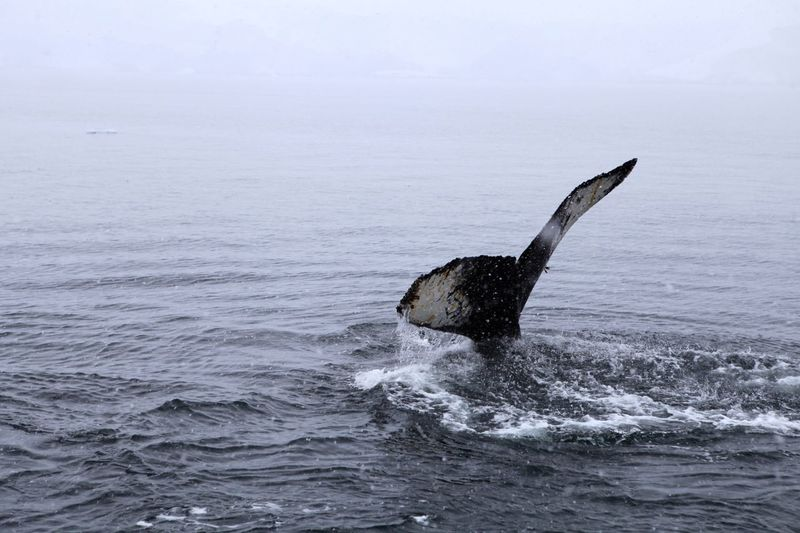Close-up of whale tail fin in sea