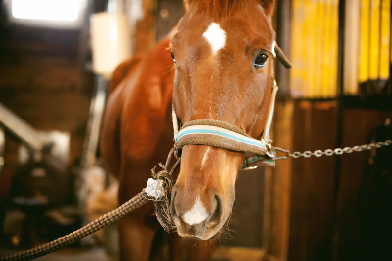 Close-up portrait of horse in stable