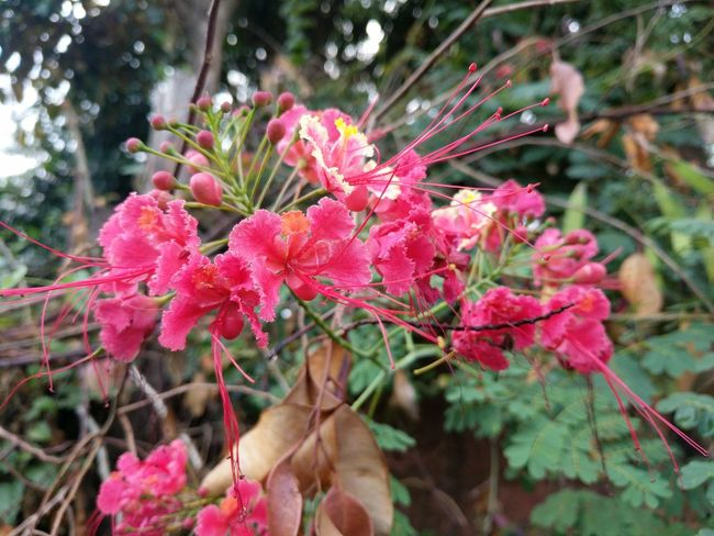 Caesalpinia pulcherrima Growth Pink Color Nature Flower Beauty In Nature Fragility Day Outdoors No People Plant Close-up Focus On Foreground Petal Leaf Freshness Flower Head Tree