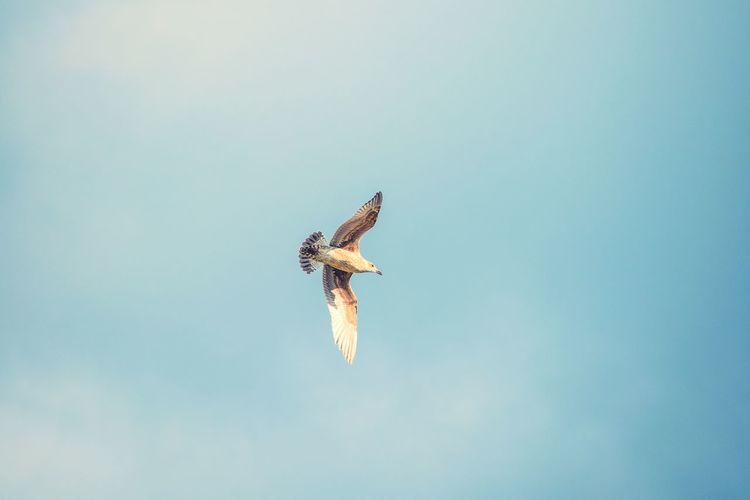 Soaring gracefully over its domain Soaring EyeEm Nature Lover EyeEm Best Shots EyeEm Selects Bird Of Prey Bird Spread Wings Flying Sky Animal Themes Close-up Animal Wing Fly