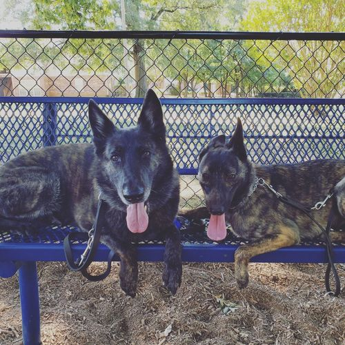 Portrait of dogs on fence
