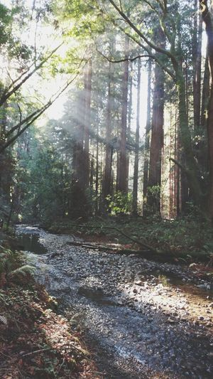 sunlight pours in through the canopy onto a stream in a redwood forest. Redwoods Beams Of Light Rays Of Light Forest Canopy Woodland Adventure San Francisco Bay Area Tranquility Peaceful Scene Serenity Renewal  Tree Forest Nature Sunlight Day Outdoors Beauty In Nature No People