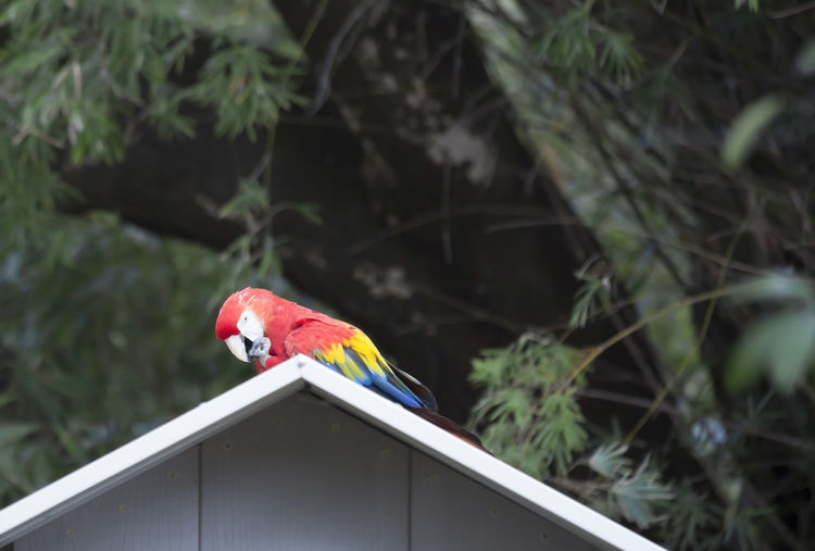 Bird House Bird Photography Birds Of EyeEm  Macaw Bird Macaw Parrots Animal Animal Photography Animal Themes Animal Wildlife Animals Bird Birds Day Macaw Macaw Parrot Macaw Red Multi Colored No People One Animal Outdoors Parrot Red Scarlet Macaw Scarlet Macaws Vertebrate