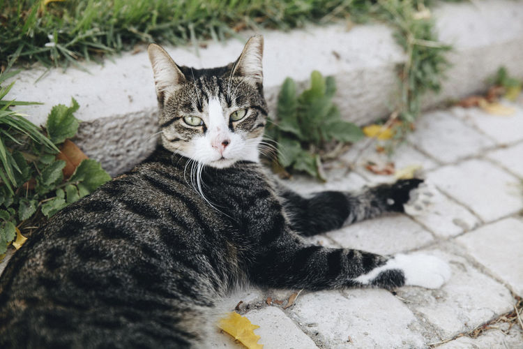 High angle view portrait of tabby cat