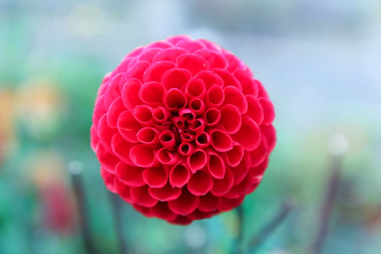 Pompom Dahlia Beauty In Nature Close-up Dahlia Day Flower Flower Head Flowering Plant Focus On Foreground Fragility Freshness Geometric Growth Inflorescence Nature No People Perfect Petal Pink Color Plant Pompom Dahlia Red Vulnerability