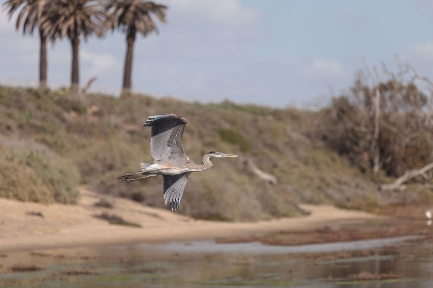 Great blue heron bird, Ardea herodias, in the wild, flying over a marsh in Bolsa Chica wetlands in Huntington Beach, California, United States Ardea Herodias Bird California Flying Great Blue Heron Heron Huntington Beach Marsh Wildbird