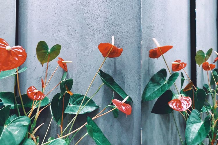 Close-up of red flowering plants against wall