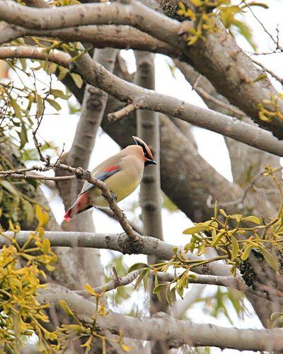 ヒレンジャク 冬の渡り鳥 EyeEm Best Shots Tree Branch Bird Animals In The Wild Perching Nature No People Animal Wildlife Animal Themes Focus On Foreground Beauty In Nature Close-up Outdoors Day