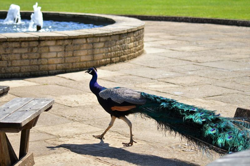 Fountain Animal Wildlife Animals In The Wild Bird Glorious Bird Graceful No People Outdoors Peacock Peacock Feather Shadow Sunlight