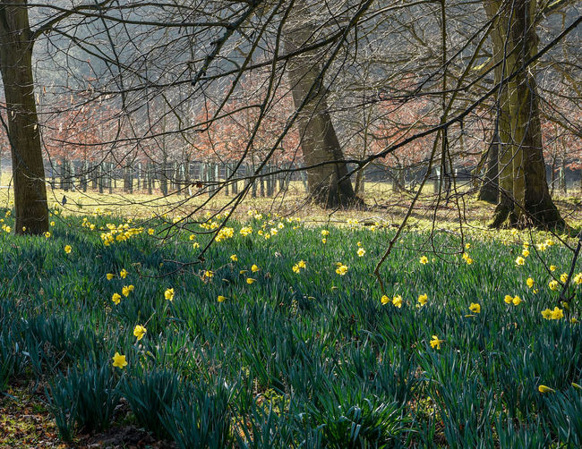 Daffodils are out and spring is early this year here in the UK. Daffodil Daffodils Daffodils Flowers Plant Flowering Plant Flower Tree Growth Land Yellow Beauty In Nature Nature Landscape Tranquility Springtime Outdoors Spring Spring Flowers