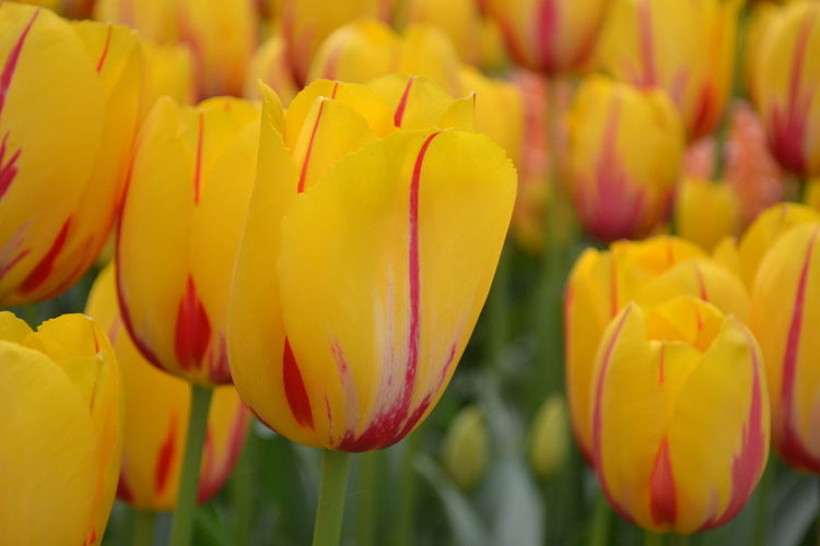 Close-up of yellow tulips on field