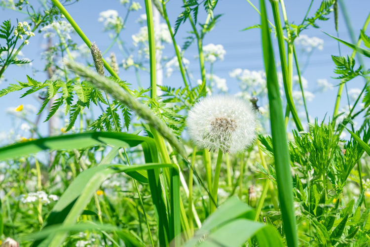 Close-up of white dandelion flower on field
