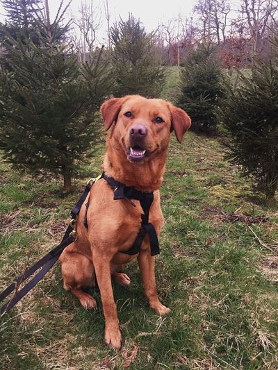 Pine Tree Fox Red Lab Labrador EyeEm Selects Dog Canine Pets Domestic Domestic Animals One Animal Mammal Animal Themes Animal Plant Vertebrate Tree Portrait Looking At Camera Grass Nature Land Day No People Sitting