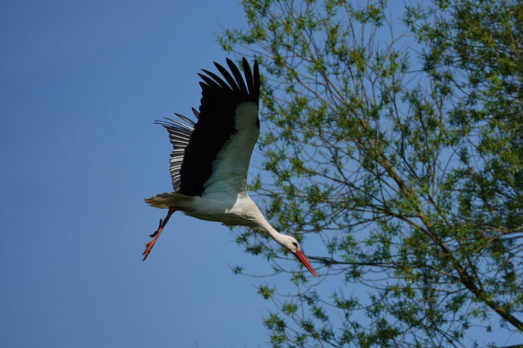Männlich  Storch Im Anflug Auf Nest Animal Animal Themes Animal Wildlife Animals In The Wild Bird Blue Branch Clear Sky Day Flying Low Angle View Mid-air Nature No People One Animal Plant Sky Spread Wings Storch Stork Tree Vertebrate