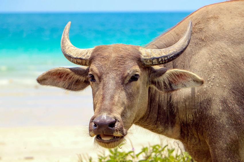 the thai buffalo Buffalo Field Nature Thailand Animal Themes Animal Wildlife Beauty In Nature Blue Sky Clounds And Sky Countryside Day Domestic Animals Headshot Mammal Nature No People Outdoors Topical