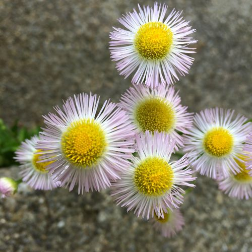 Close-up of white daisy blooming in park